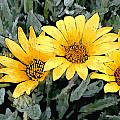 Yellow Gazanias by Elaine Plesser