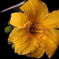 Yellow Glory by Jerry Hellinga