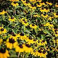 Yellow Golden Flowers 3 by Noah Katz