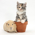 Yellow Guinea Pig And Kitten by Mark Taylor