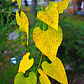 Yellow Heart Leaves  Photoart I by Debbie Portwood