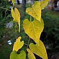 Yellow Heart Leaves Photoart II by Debbie Portwood