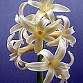 Yellow Hyacinth by Nick Kloepping