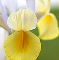Yellow Iris by Brooke Roby