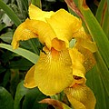 Yellow Iris Tasmania Australia by Sandra Sengstock-Miller