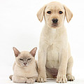 Yellow Lab And Burmese Cat by Mark Taylor