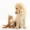 Yellow Lab And Ginger Kitten by Mark Taylor