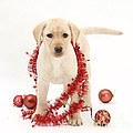 Yellow Lab Pup At Christmas by Mark Taylor