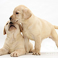 Yellow Lab Puppies by Mark Taylor