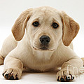 Yellow Lab Puppy by Mark Taylor