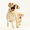Yellow Labrador Pups Leaping And Running by Mark Taylor