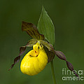 Yellow Lady's Slipper by Bob Christopher