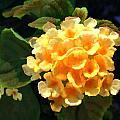 Yellow Lantana by Elaine Plesser