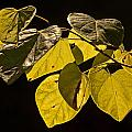 Yellow Leaves On A Tree Branch by Randall Nyhof