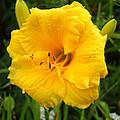 Yellow Lily - Oshun by Duwayne Washington
