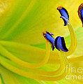 Yellow Lily by Judi Bagwell