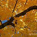Yellow Maple Branch by Christine Stack