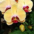 Yellow Moth Orchids by Eva Kaufman
