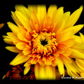 Yellow Mum by Simone Hester