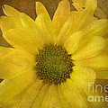 Yellow Mums by Benanne Stiens