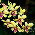 Yellow Orchid Cascade by Sabrina L Ryan