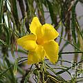 Yellow Orchid by John  Kolenberg
