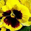 Yellow Pansey by Ann Warrenton