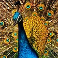 Yellow Peacock by Phil Huettner
