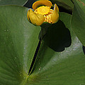 Yellow Pond Lily by Doris Potter
