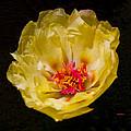Yellow Portulaca by Mitch Shindelbower