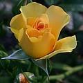 Yellow Queen by Valia Bradshaw