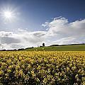 Yellow Rapeseed Field, Newgrange by Peter McCabe