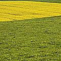 Yellow Rapeseed Growing Amongst Green by Peter McCabe
