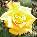 Yellow Rose At High Noon by Alys Caviness-Gober