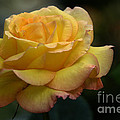 Yellow Rose by Bob Christopher