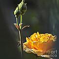 Yellow Rose by Heiko Koehrer-Wagner