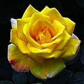 Yellow Rose In The Moonlight by Isabella Howard