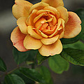 Yellow Rose Of Baden by Mary Machare