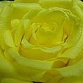 Yellow Rose Of Texas by Maria Bonnier-Perez