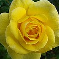 Yellow Rose Of Texas by Michael MacGregor