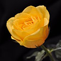 Yellow Rose On Black Background by Déco'Style Balexia87