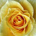 Yellow Rose by Peg Urban