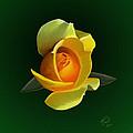 Yellow Rose by Rand Herron