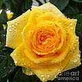 Yellow Rose With Water Droplets by Maria Malevannaya