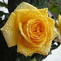 Yellow Roses With Water Droplets by Maria Malevannaya