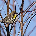 Yellow-rumped Warbler - Placid by Travis Truelove