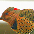 Yellow Shafted Flicker by Laurel Talabere