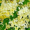 Yellow Shower Tree - 1 by Mary Deal