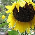 Yellow Splendor by Louise Peardon