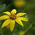 Yellow Star by Loretta Pokorny